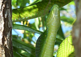 Green Mamba  after swallowing young Bird