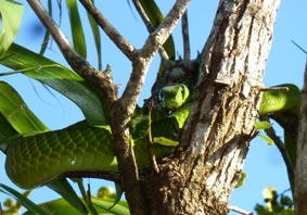 Green Mamba resting now