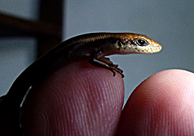 Speckled Lip Skink