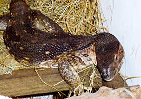 Savanna Monitor in chicken coop